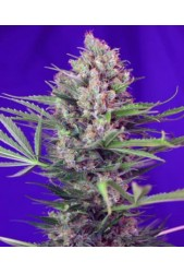 comprar Cream Mandarine F1 Fast Version de Sweet Seeds