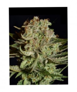 Super Bud de Green House Seeds