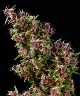 Purple Paro Valley de Mandala Seeds