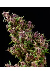Purple Paro Valley de Mandala Seeds