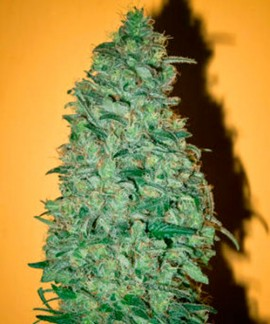 comprar California Dream de Mandala Seeds