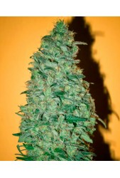 California Dream de Mandala Seeds