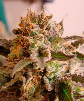 comprar So G Kush de Soma Seeds