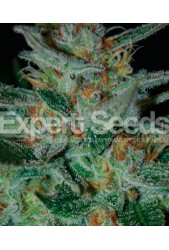 Blue Cheese de Expert Seeds