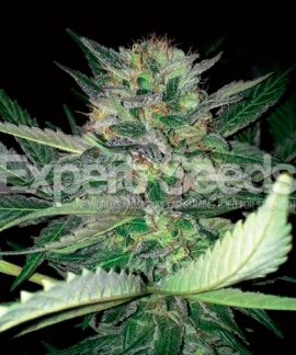 comprar Critical Lights de Expert Seeds