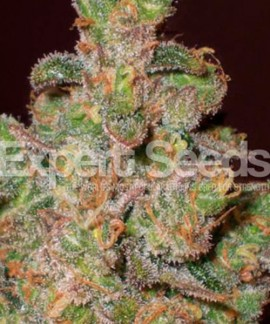 comprar Cheese de Expert Seeds