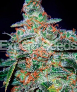 comprar Cheese Auto de Expert Seeds
