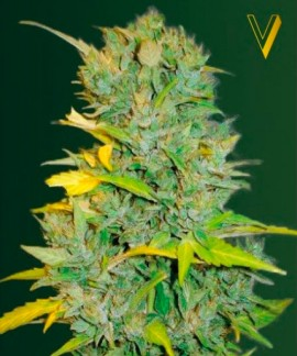 comprar Auto Biggest Bud