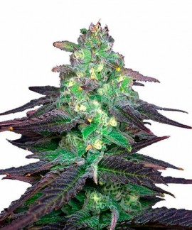 comprar Blueberry Bud