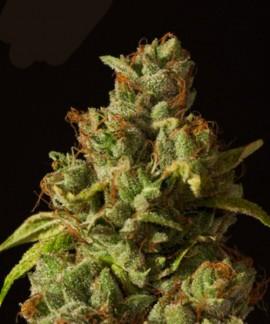 comprar Rollex Og Kush de Devil's Harvest Seeds