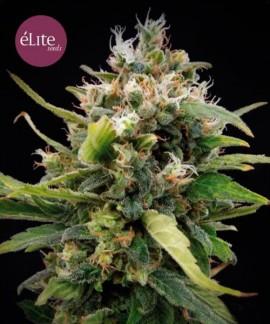 La Rica Clásica THC de Élite Seeds