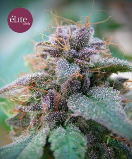 comprar Blue Elite Indica