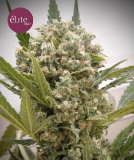 comprar La Katana de Elite Seeds