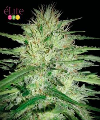 """Comprar Juanita """"La Lagrimosa"""" CBD de Elite Seeds"""