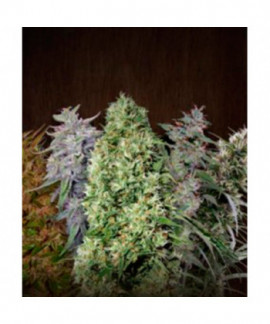 comprar Ace Mix de Ace Seeds Regulares
