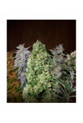 Ace Mix de Ace Seeds Regulares