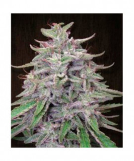 comprar Bangi Haze de Ace Seeds Regulares