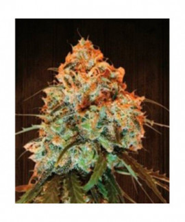 comprar Golden Tiger de Ace Seeds Regulares