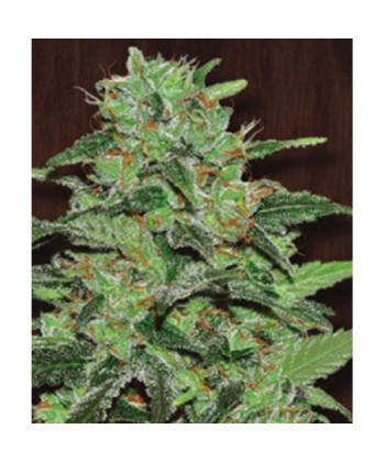 Comprar Malawi de Ace Seeds Regulares