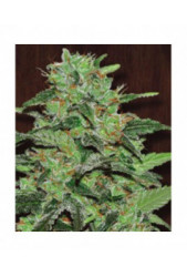Malawi de Ace Seeds Regulares