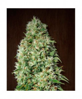 comprar Orient Express de Ace Seeds Regulares