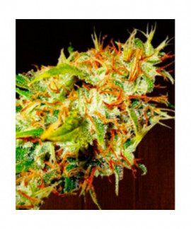 comprar Zamaldelica Regular de Ace Seeds