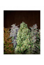 Ace Mix de Ace Seeds