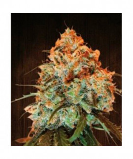 comprar Golden Tiger de Ace Seeds