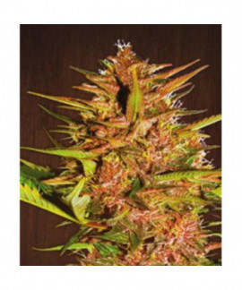 comprar Pakistan Chitral Kush Pack De Cría de Ace Seeds