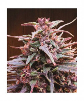 comprar Purple Haze x Malawi de Ace Seeds