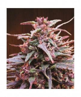comprar Purple Haze x Malawi