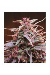 Purple Haze x Malawi de Ace Seeds