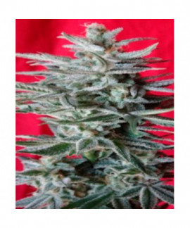 comprar Snow Moon de Ace Seeds