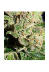 comprar Blue Cheese de Big Buddha Seeds
