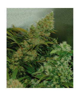 comprar Bubble Cheese de Big Buddha Seeds