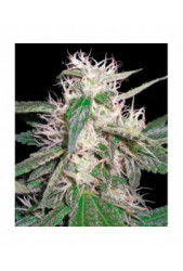 Cheese Dawg de Big Buddha Seeds