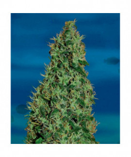 comprar Cheesy Dick de Big Buddha Seeds