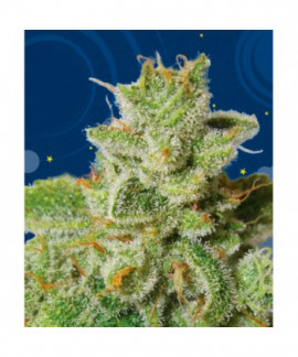 comprar Cherry Moon Pie de Big Buddha Seeds