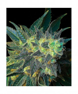 comprar Chiesel de Big Buddha Seeds