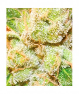 comprar Cookies & Cream Cheese de Big Buddha Seeds