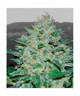 comprar Freeze Cheese 89 de Big Buddha Seeds