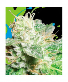 comprar Head Cheese de Big Buddha Seeds