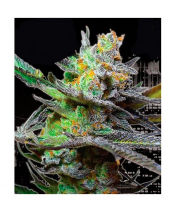 Comprar King Kong de Big Buddha Seeds
