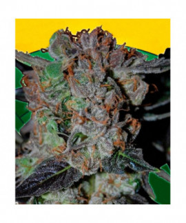 comprar L.A. Cheese de Big Buddha Seeds