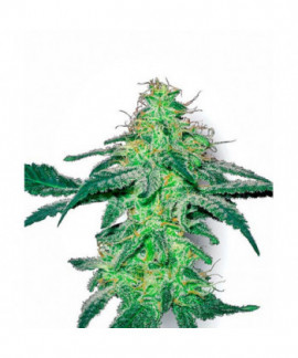 comprar White Skunk