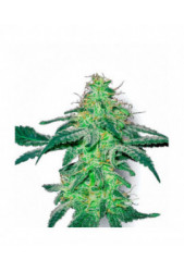 White Skunk de Sensi White Label