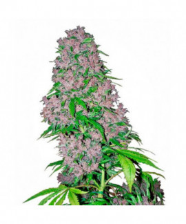 comprar Purple Bud de Sensi White Label