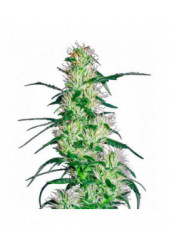 Purple Haze de Sensi White Label