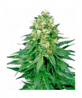 comprar White Widow de Sensi White Label