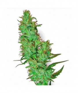 comprar White Label Jack Herer